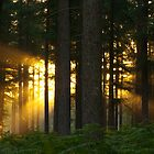 "Woodland Sunrise.  ""There be Gold in them there woods!"" by Sunnymede"