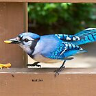Blue Jay by kjeld