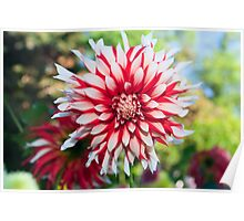 Dahlia Flower, Red and White Poster
