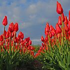 Tulips field by roumen