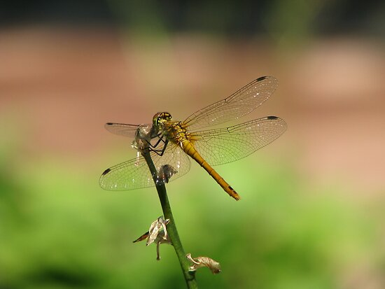 Jewel-winged beauty by Elena Skvortsova