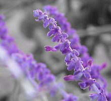 Purple Flowers UC Davis by FFRPhoto