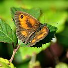 Gatekeeper butterfly by Russell Couch