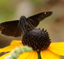 Moth on a black-eyed Susan by agenttomcat