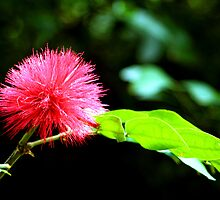 Rare Red Powder Puff Flower by Raoul Isidro