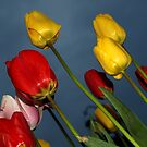 The Colour of Tulips in Spring by saxonfenken