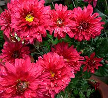 Radiant Chrysanthemums by Janette Anderson