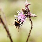 Bumble bee by kohii