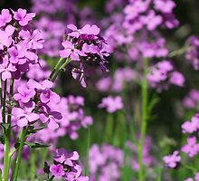 Dame's Rocket- Hesperis matronalis by Les Wazny