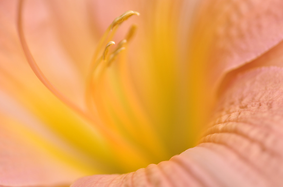 Pink Daylilly, As Is by Kim McClain Gregal