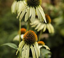 Coneflowers by Rachel Leigh