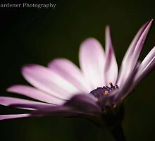 Winter Daisy by garts