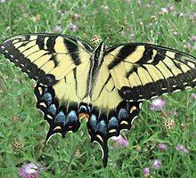 Majestic Tiger Swallowtail  by jmjgemini