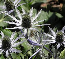 Sea Holly by Robert Arconti