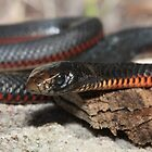 Red Bellied Black Snake by Paul Duckett