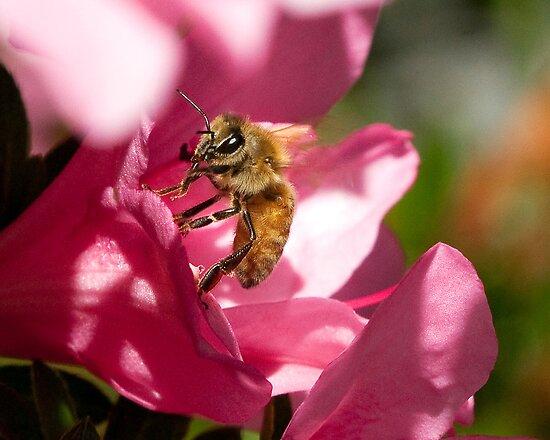 Honey Bee On Pink Flower by David Friederich