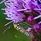 Ailanthus Webworm Moth on Liatris by Adam Bykowski