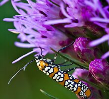 Ailanthus Webworm Moth on Liatris by Adam Bykowski