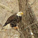 The bald eagle in colorado snow #3 by jeff welton