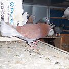 Courier Mail with wings Inside The Pidgeon Loft by zoolou