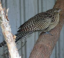 Pheasant Coucal by Eeva47