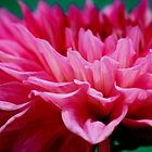 Pink Petals by Indrani Ghose