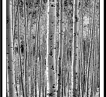 Stand of Aspen Trees by ChrisBaker
