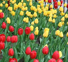 Tulips in Spring in Chicago by Missy Yoder