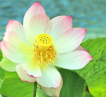 Open Face Lotus by Valerie Rosen