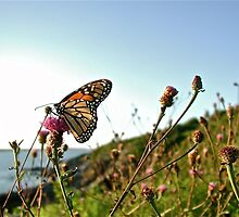 Beautiful Butterfly at Beavertail © 2010.07.26 by Jack McCabe