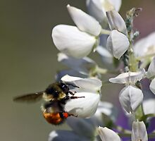 Bumble Bee on Lupine by by M LaCroix