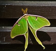 Silk Moth by michaelBstone