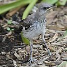 Baby mockingbird after 1 st landing by jozi1