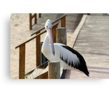 Pelican, Monkey Mia, Western Australia Canvas Print