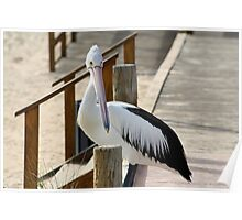 Pelican, Monkey Mia, Western Australia Poster