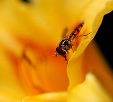 Hoverfly   by Simon Pattinson