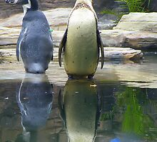Humboldt Penguins by Rob Parsons