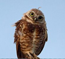 072810 Burrowing Owl by Marvin Collins