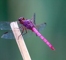 Roseate Skimmer by Chris Heising