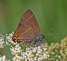 White Letter Hairstreak butterfly by Hugh J Griffiths