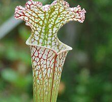 Sarracenia leukophylla by Justin Overholt