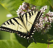 Eastern Tiger Swallowtail by Todd Weeks