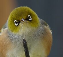 Don't even think about it! Silvereye - Wax Eye - New Zealand by AndreaEL