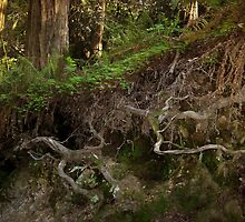 Roots of Redwoods by Ellen Cotton