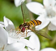Black-Banded Hover Fly by Jason Asher