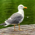 Lesser Black Backed Gull by VoluntaryRanger