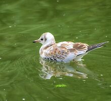Just Drifting...Black Headed Gull (Juvenile) by VoluntaryRanger