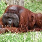 50 Years Old  Bornean orangutan  by angeljootje