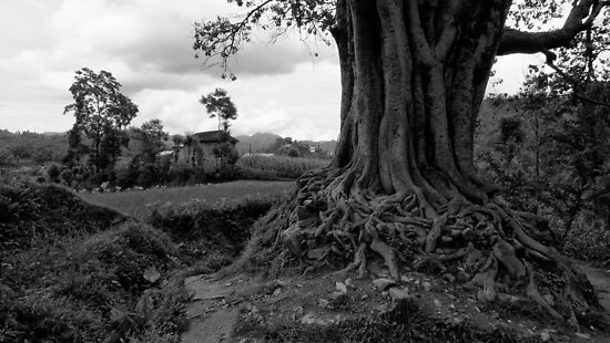 Pipal Tree. Khopasi, Nepal by John Callaway