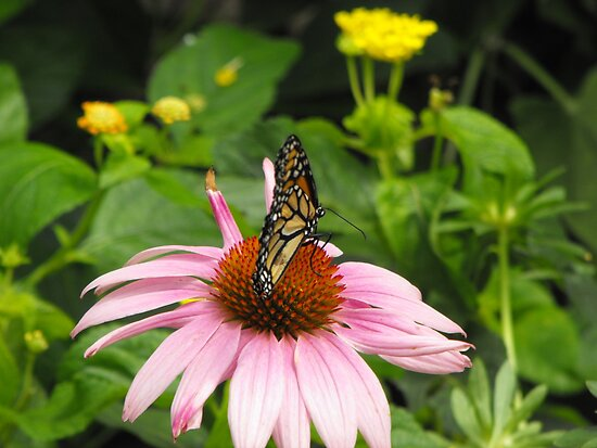 Monarch on pink flower by iheartrhody